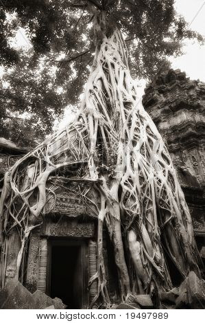 Parasite tree grown over a banyan tree with huge roots seized upon ruin walls at Ta Prohm temple, Angkor, Cambodia, infrared-monochrome image.