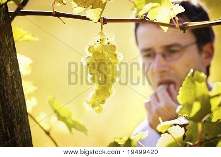 Close-up of bunch of green grapes hanging from vine in vineyard with blurred male winemaker in background tasting a grape during harvest time.