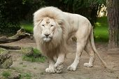Male white lion. The white lions are a colour mutation of the Transvaal lion (Panthera leo krugeri), poster