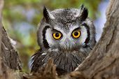 Close-up of a Whitefaced Owl; Otus Leucotis; South Africa