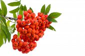 stock photo of rowan berry  - Bright rowan berries on a tree isolated on white background - JPG