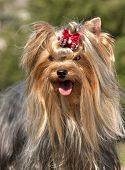 stock photo of yorkshire terrier  - yorkie - JPG