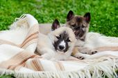Two Cute Siberian Laika Puppies On The Blanket poster