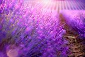 Lavender field in Provence, France. Blooming Violet fragrant lavender flowers. Growing Lavender sway poster