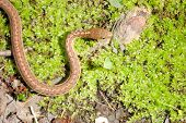 foto of harmless snakes  - A garter snake on the floor of a woods - JPG