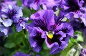stock photo of violet flower  - Close - JPG