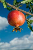 picture of tabernacle  - pomegranate on branch against cloudy blue sky - JPG
