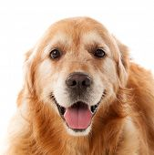 Beautiful Golden Retriever dog breed in isolated studio on white background poster