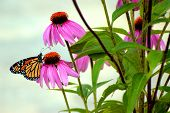 pic of monarch butterfly  - Monarch butterfly sipping nectar from a coneflower at a garden - JPG