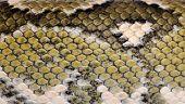 Close-up of Boa manditra snake skin, Sanzinia madagascariensis, 2 years old poster