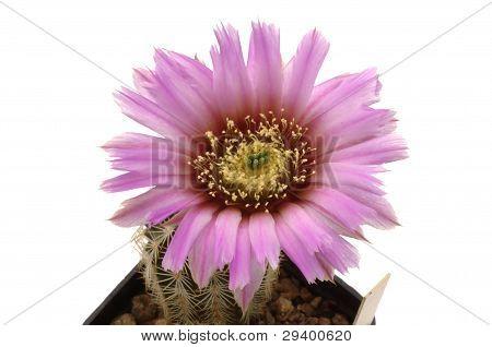 Echinocereus glasii