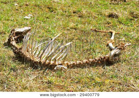 Sheep skeleton