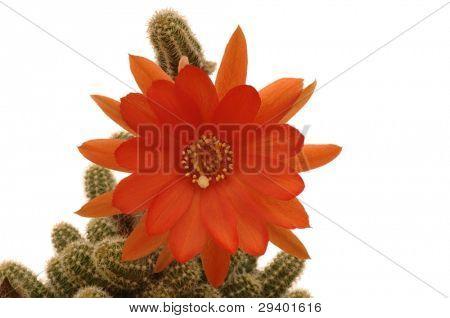 Pragochamaecereus cv.