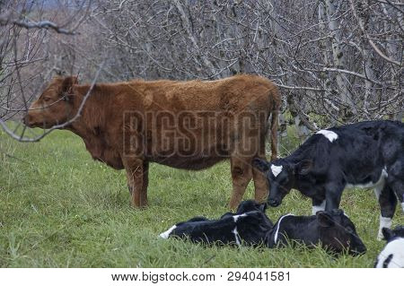 Holstein Friesian Calves In Orchard