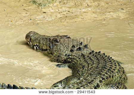 Estuarine Crocodile in Mud Water