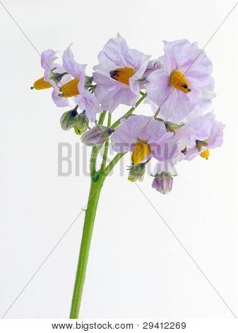potato plant with pretty lila flowers
