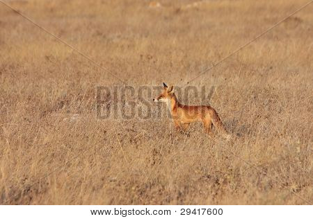 Red Fox In The Field