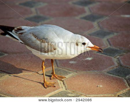 Arabian Seagull
