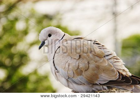 Profile Of A Collared Dove