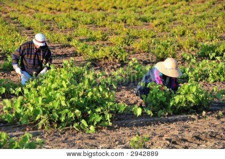 Trabajadores agrícolas mexicanos