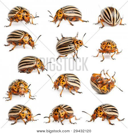 Composition of Colorado potato beetles, the ten-striped spearman, the ten-lined potato beetle or the potato bug, Leptinotarsa decemlineata, in front of white background