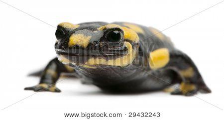 Salamandra, Salamandra salamandra, frente fondo blanco