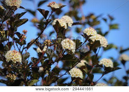 The Flowers Of Eastern Ninebark
