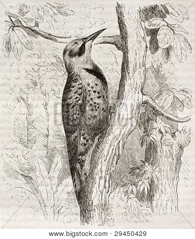 Northern Flicker old illustration (Colaptes auratus). Created by Kretschmer and Jahrmargt, published on Merveilles de la Nature, Bailliere et fils, Paris, ca. 1878
