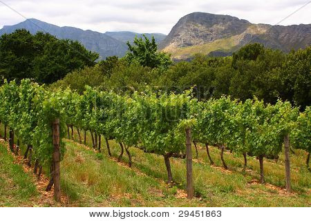 Vineyard, Montague, Route 62, South Africa,