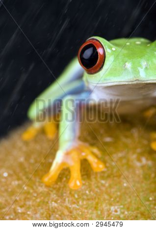 Red Eyed Tree Frog