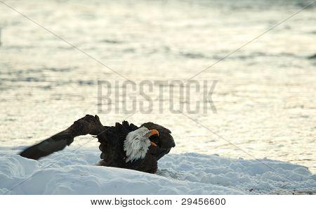 Shouting Bald Eagle On Snow.