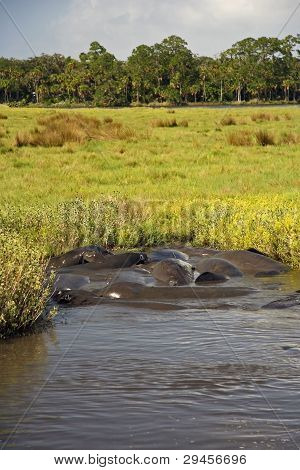Manatees on the Tomoka