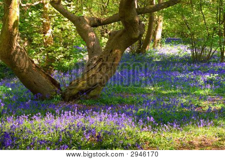 Tree And Bluebells