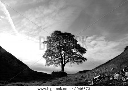 Roman Tree (Black And White)