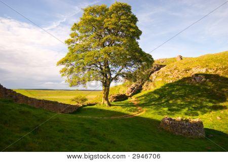 Roman Tree Ii