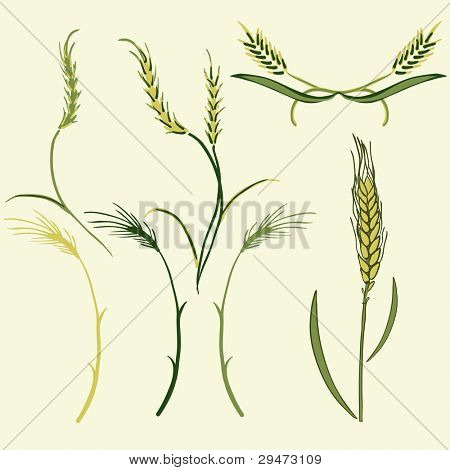 Wheat illustration, vector