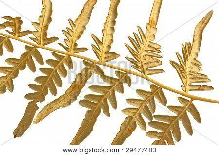 Branch Dry Fern
