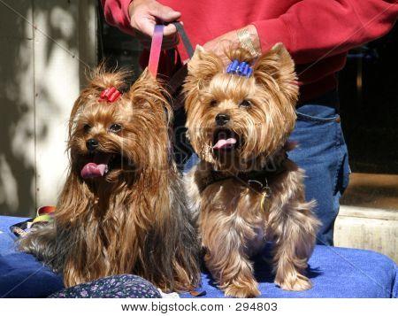 Yorkie Twins