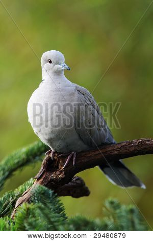 collared pigeon(Streptopelia decaocto)