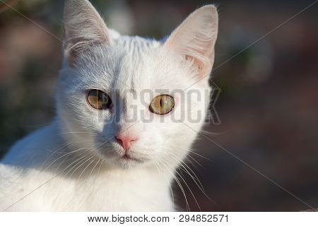 poster of Portrait Of A Domestic Cat Of White Color With Big Eyes. Cute Clean Cat. White Cat With A Pink Nose.
