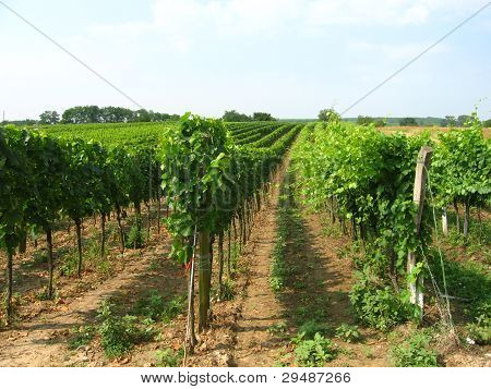vineyard in wachau