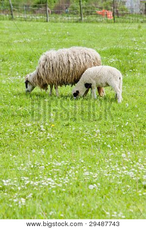 sheep with a lamb, Bosnia and Hercegovina