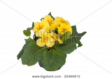 Yellow Primula Flowers