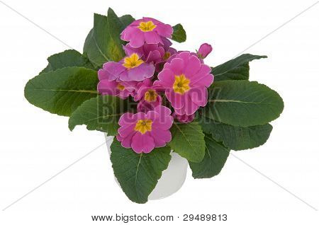 Pink Primula Flowers (other View)