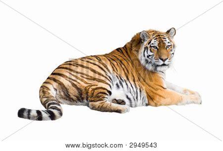 Recorte de tigre siberiano