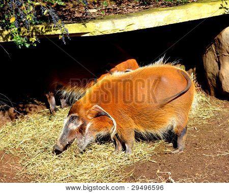 Red River Hog Eating Hay