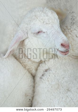 Sheep Baby Smile