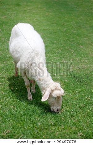 Sheep Enjoy The Green Grass