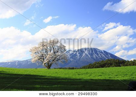 Cherry Blossom  And Moutain