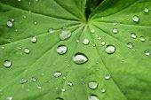 Leaf with Water Drops